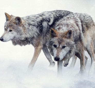 Wolfsmond Ritual | Schutzritual | Wolfsrudel Ritual