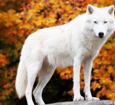 Der Fenriswolf | Fenrir oder Fenrisúlfr | Sage der Götterdämmerung